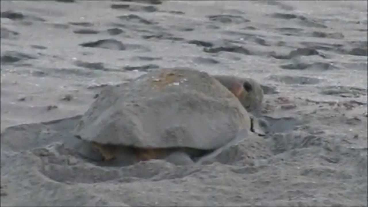 Sea Turtle nesting Hutchinson Island Florida - 6 30 2013 part 8