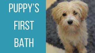 PUPPY'S FIRST BATH | EightWeek Old Maltipoo