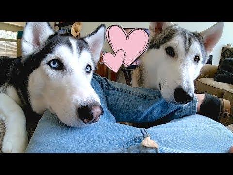 2 Siberian Huskies BEG With Cuteness! (Never Trick A Husky)
