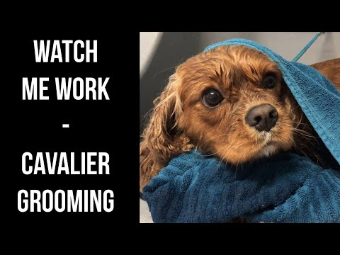 Watch Me Work - Grooming a Gorgeous Cavalier!