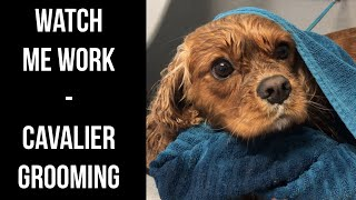 Watch Me Work  Grooming a Gorgeous Cavalier!