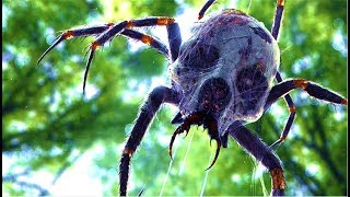 Couple Encounter Mysterious Giant Spiders Of The Congo?