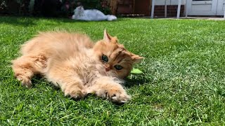Cats Rolling In The Grass