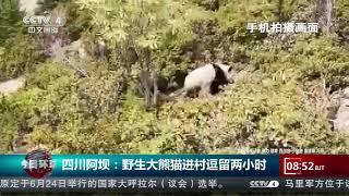 [今日环球] 四川阿坝:野生大熊猫进村逗留两小时 | CCTV中文国际