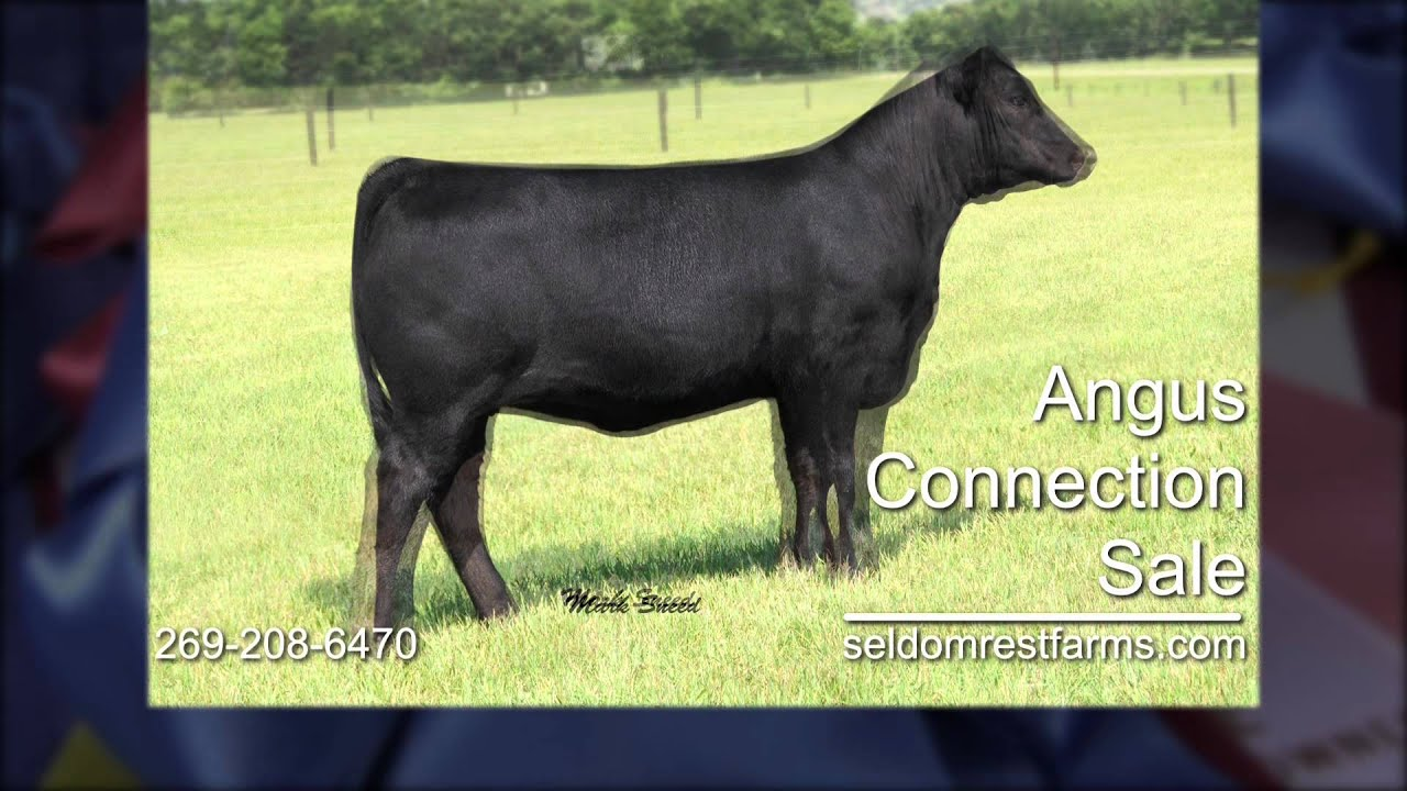 Seldom Rest Farms Angus Cattle Youtube