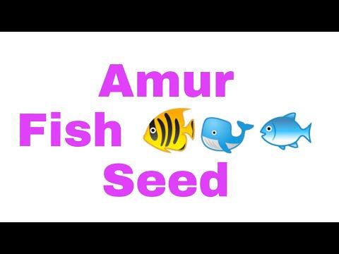 Amur Fish  Seed