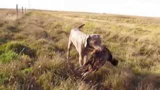 Chasing Pheasants 2014