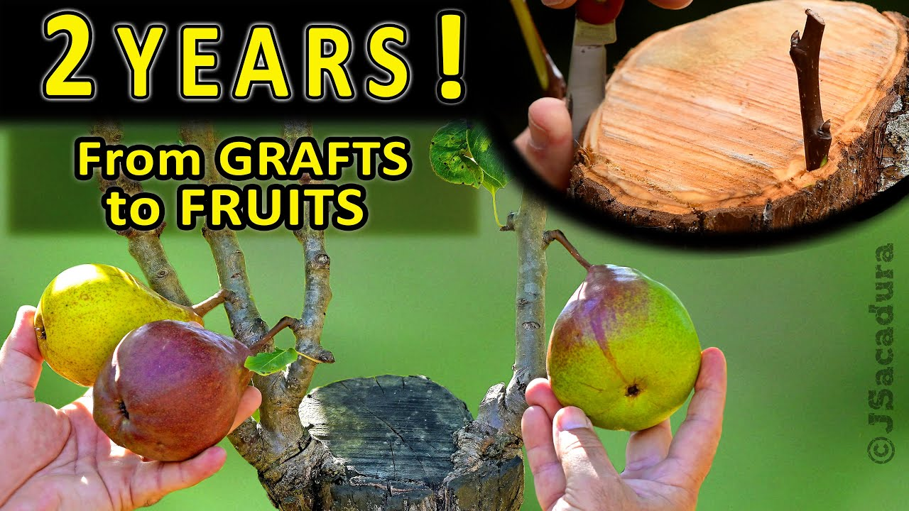 Grafting OLD PEAR TREES  How to CHANGE varieties in OLDER FRUIT TREES by grafting