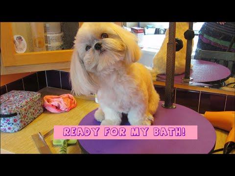 Shih Tzu bath time  - How to groom your Shih Tzu