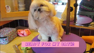 Shih Tzu bath time  - How to groom your Shih Tzu