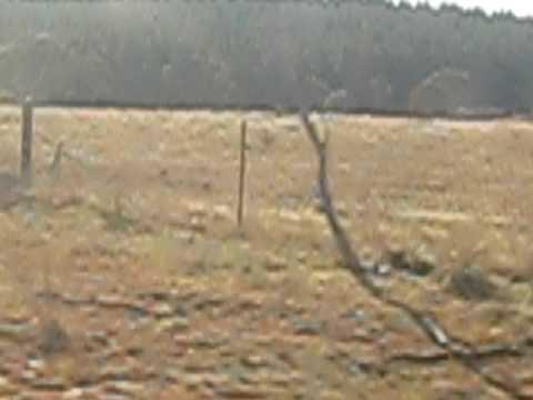 kangaroo wild free - train to Canberra Australia