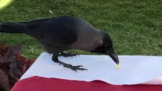 """Black Bird Eating - Catching """"Crow"""" eating"""