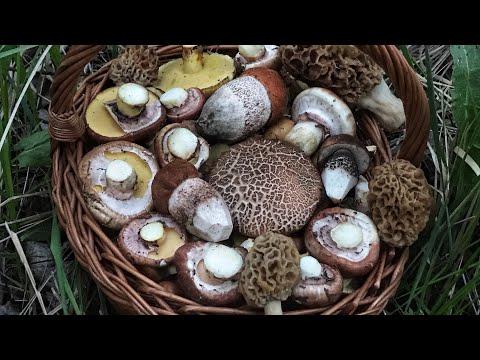 Вопрос: В ваших местах находят грибы в мае 2020 и какие?