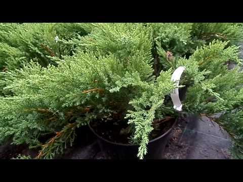 Можжевельник чешуйчатый холгер (juniperus squamata holger),хвойные, можжевельник,кустарники,купить можжевельник,саженцы,посадка,уход, купить можжевельник в интернет-магазине,садовый центр,отечественные и зарубежные питомники.