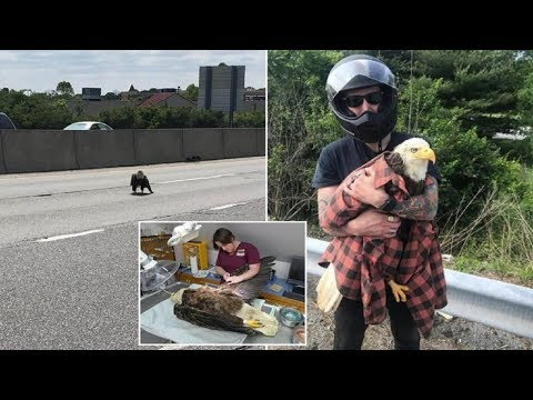 This Brave Motorcyclist Saved The Life Of An Injured Bald Eagle