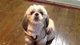 Shih Tzu シーズーの雄叫び  Dogs shout !