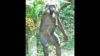 "Human Apes Funny Intelligent Bonobos Females Rule ""As it should be"""