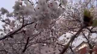 Video sakura/cherry blossoms 2013 download MP3, 3GP, MP4, WEBM, AVI, FLV Mei 2018
