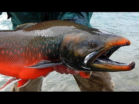 Big fish in Cambodia - biggest freshwater fish in the ...