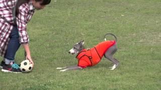 italiangreyhound イタグレ dog igmira.