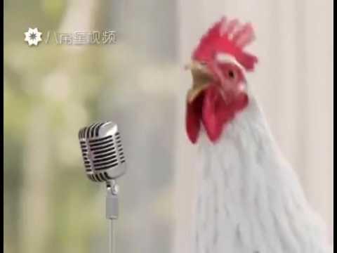 Le galline e un tacchino cantare
