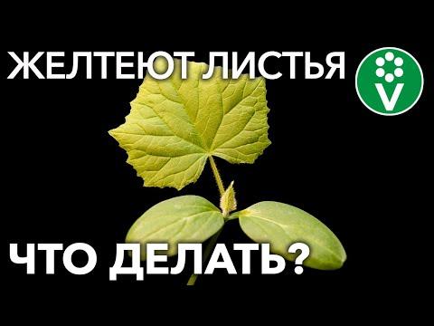ЖЕЛТЕЮТ ЛИСТЬЯ ОГУРЦОВ? 8 причин и важные шаги по спасению урожая