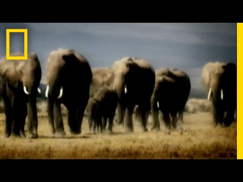 Revenge of the Elephants | National Geographic