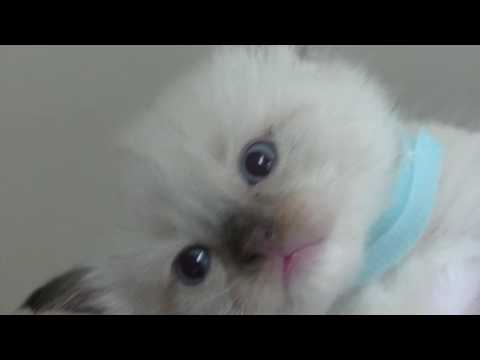 Blues, Seals, Bi-colors, Lynx  Ragdoll Kittens for Adoption May 15 2016 - A Ragdoll To Love Cattery
