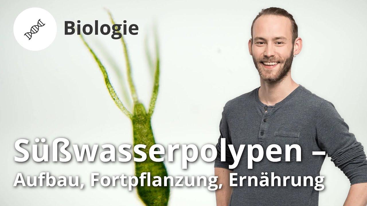 Süßwasserpolypen: Aufbau, Fortpflanzung, Ernährung – Biologie | Duden Learnattack