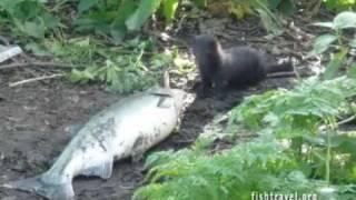 Рыбалка Камчатка. Видео Камчатка рыбалка.(На Камчатке заядлыми рыбаками становятся даже самые равнодушные. Лососи весом 7-20 килограмм - явление обычн..., 2008-12-14T23:58:18.000Z)