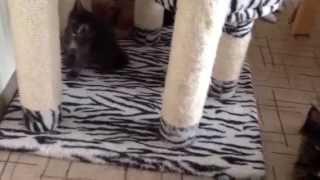 Мейн кун котята купить. Котятам 1 месяц. Питомник кошек мейн кун_MisterCoon
