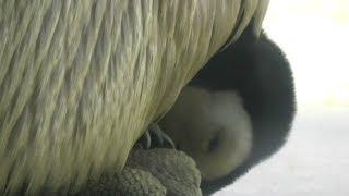 生後22日 皇帝ペンギンの赤ちゃんは親が鳴くと自分はここにいるよと鳴い...