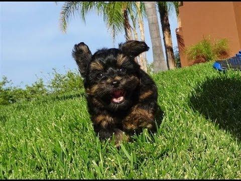 'jeter'---male-yorkiepoo-puppy---yorkie-x-toy-poodle