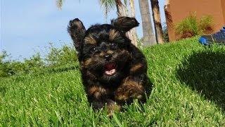 ''jeter'' - Male Yorkiepoo Puppy - Yorkie X Toy Poodle