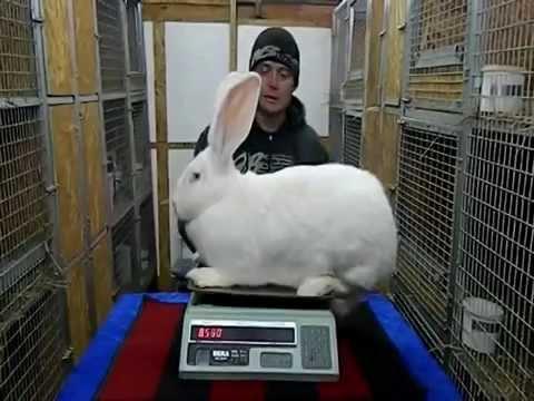 Разведение кроликов (Взвешивание крольчихи породы Бельгийский великан)