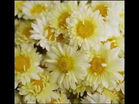 Chrysanthemum Tea Health Benefits & Side Effects