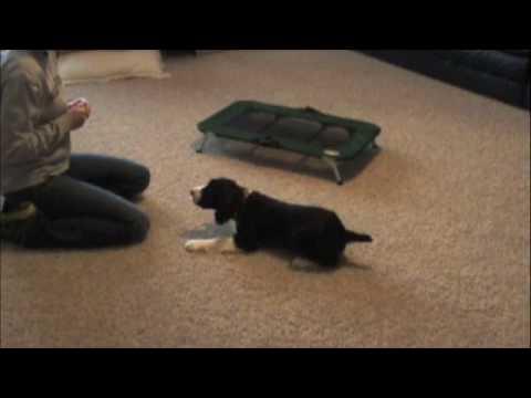 English Springer Spaniel puppy - obedience work
