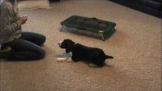 English Springer Spaniel Puppy - Obedience Work