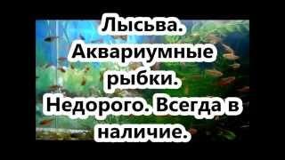 .Лысьва объявления. Аквариумные рыбки. Недорого - Аквариумные рыбки