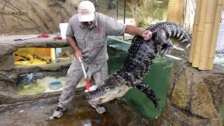 Alligator ESCAPES in the Zoo!