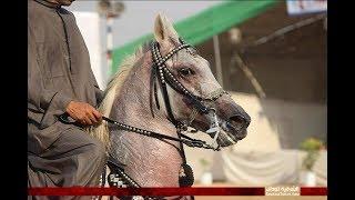 مسابقة أدب الخيل الأصيل بمهرجان الشرقية للخيول العربية 22 ببلبيس Arabian horses