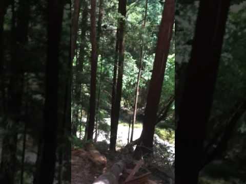 Redwoods in Santa Cruz CA