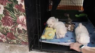 Coton Puppies For Sale - Joy 6/3/21