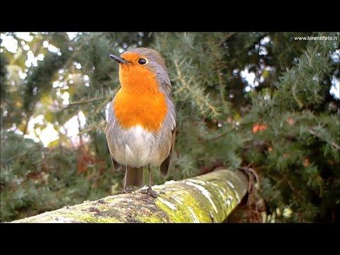 Pettirosso, richiamo tipico - European Robin (Erithacus rubecula) 156, Fototrappola a Corte Franca
