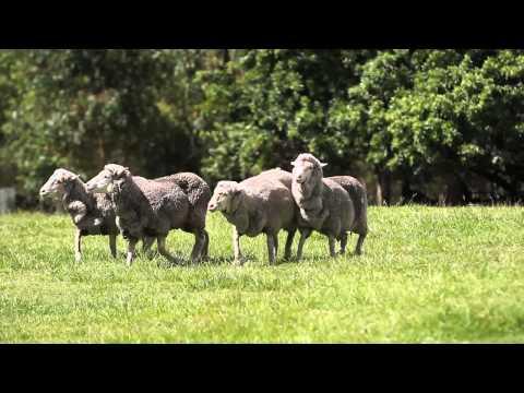 Sheep-dog race Davis Cup draw: Australia v Korea Brisbane 2012