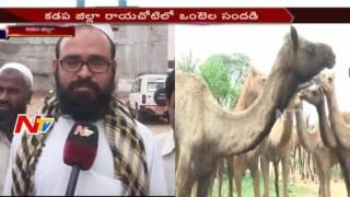Camels Business Hawa in Rayachoty Kadapa NTV
