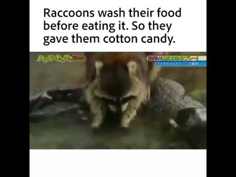 Raccoons Wash Their Food Before Eating It So They Gave Them Cotton
