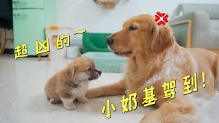 There is a little Corgi in the house, and the big golden retriever is angry!