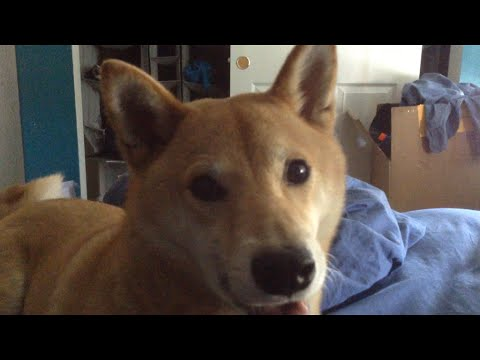 Shiba Inu Makes Hillarious and Adorable Noises