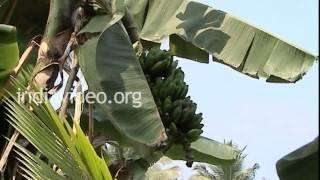 Banana Farming, Organic Farm, Kerala